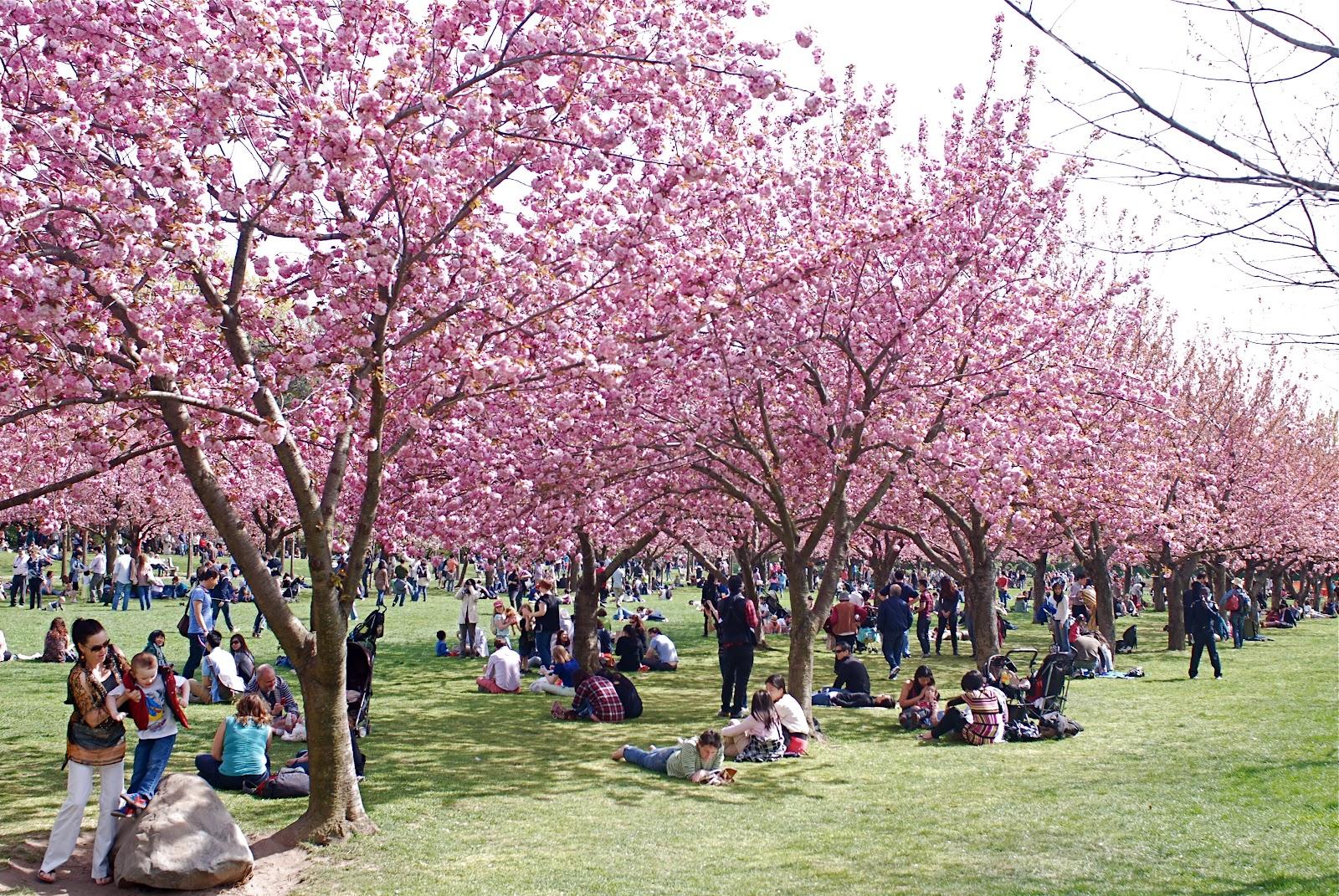 Cherry Blossom Festival Brooklyn Botanic Garden Nova York Voc